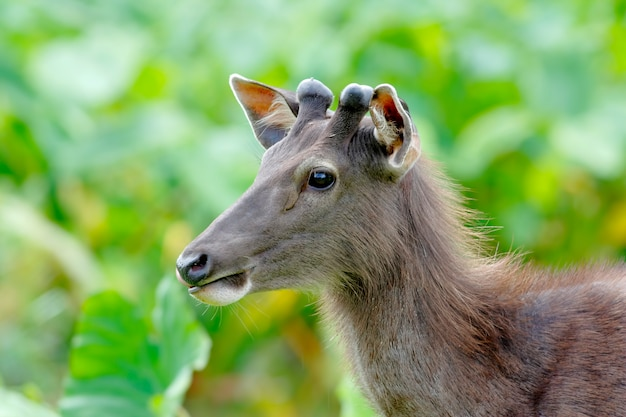 Cerf sambar rusa unicolore