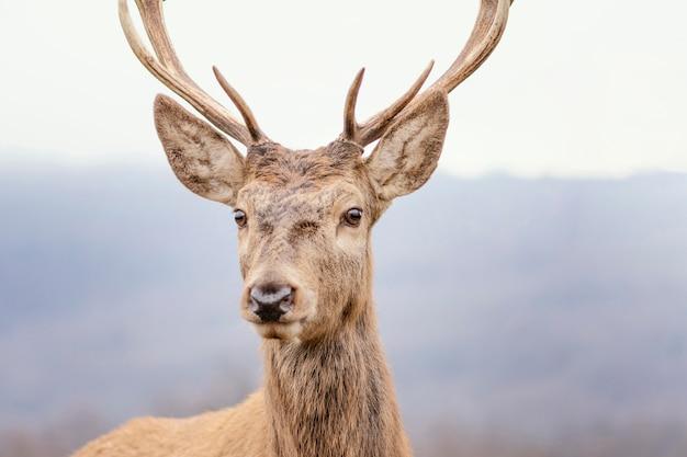 Cerf sauvage capturé dans la forêt