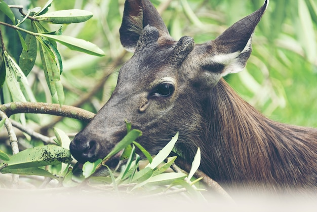 Cerf sauvage, cerf sambar, rusa unicolor, cervus unicolor