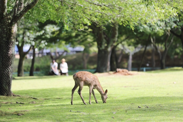 Cerf sauvage dans la ville de nara au japon