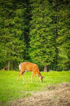 Cerf sauvage sur un pré vert dans la forêt de sibérie russie