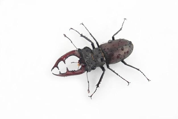 Cerf scarabée sur les gouttes d'eau sur fond blanc