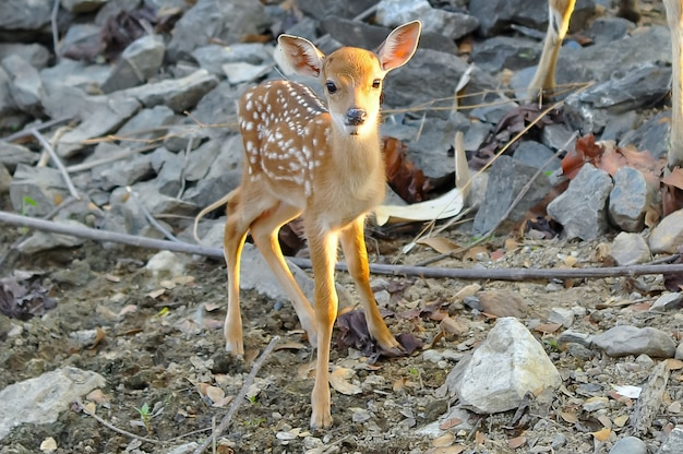 Cerf sika bébé