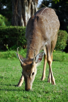 Cerf sika sur l'herbe