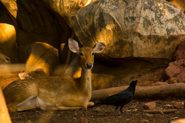 Cerf tacheté au zoo