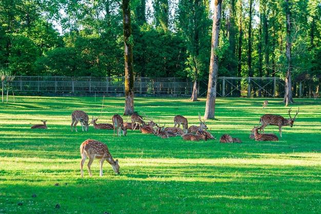 Le cerf tacheté se couche sur l'herbe verte, la vie des animaux