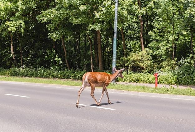 Un cerf traverse la route en été