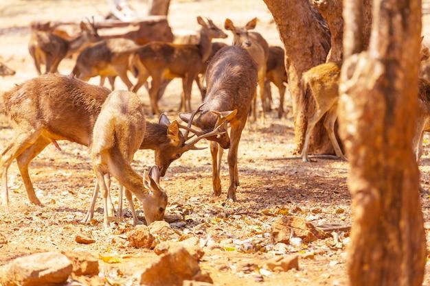 Cerfs dans le parc, thaïlande