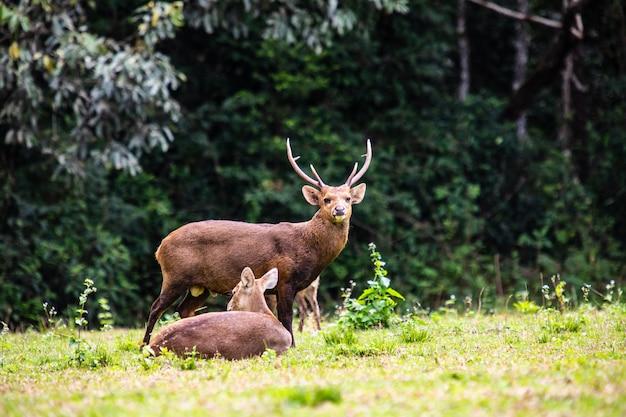 Les cerfs dans la réserve naturelle de la thaïlande.