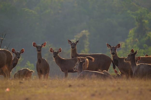 Cerfs à l'état sauvage, parc national phu-keaw, chaiyaphum, thaïlande