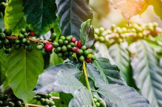 Cerise de café fraîche sur le caféier