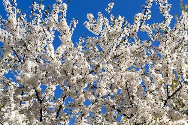 Cerise en fleurs sur fond de ciel bleu, printemps