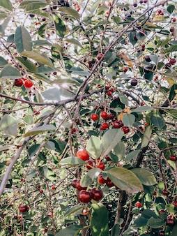 Cerise juteuse mûre rouge sur un arbre aux feuilles vertes
