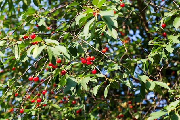 Cerise mûre rouge sur les branches d'un cerisier