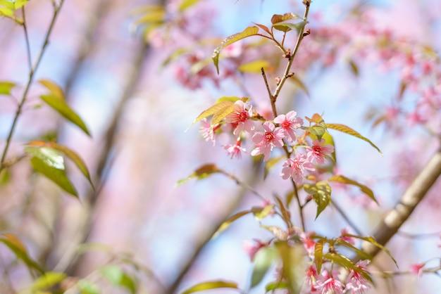 Cerise sauvage de l'himalaya en fleurs