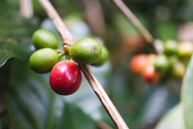 Cerises de café biologiques fraîches avec caféier dans le nord de la thaïlande