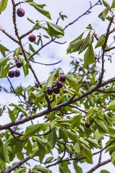 Cerises mûres rouges biologiques sur une branche d'arbre