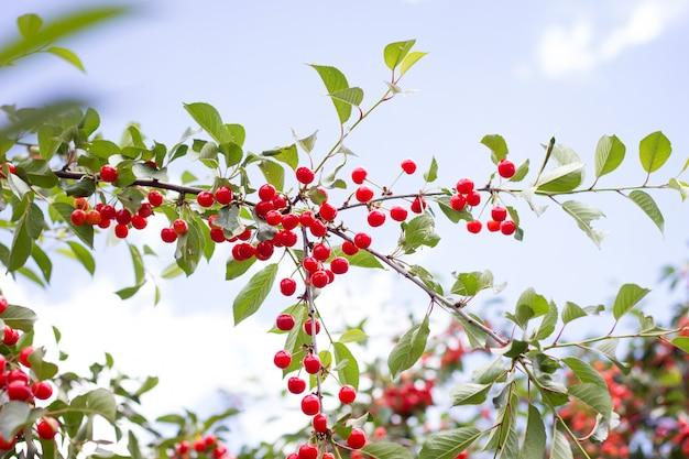 Cerises mûres rouges sur une branche de cerisier sur fond de feuilles vertes et ciel bleu. récolte. produit naturel