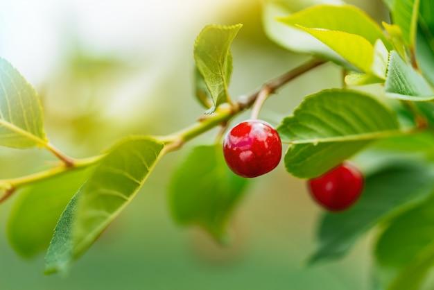 Cerises rouges juteuses sur cerisier