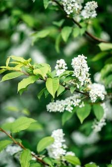 Cerisier blanc qui fleurit au printemps