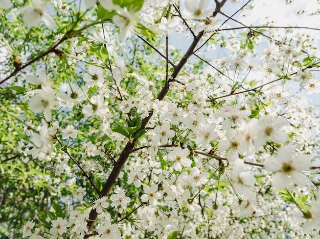Cerisier en fleurs au chaud soleil printanier