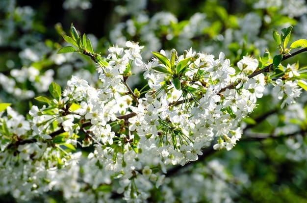 Cerisier en fleurs blanches denses au printemps dans le jardin