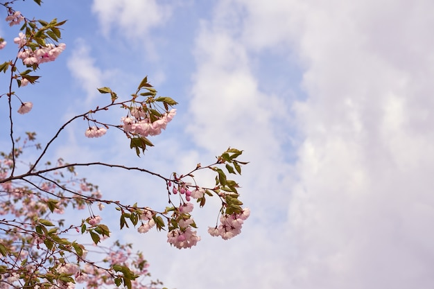 Cerisier en fleurs avec ciel bleu et nuages blancs sur fond.