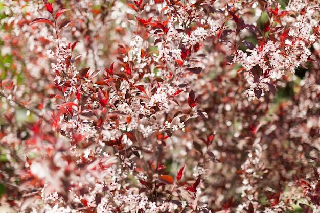 Cerisier en fleurs à fleurs roses et rouges