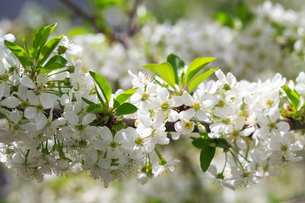 Cerisier en fleurs sur fond de ciel bleu.