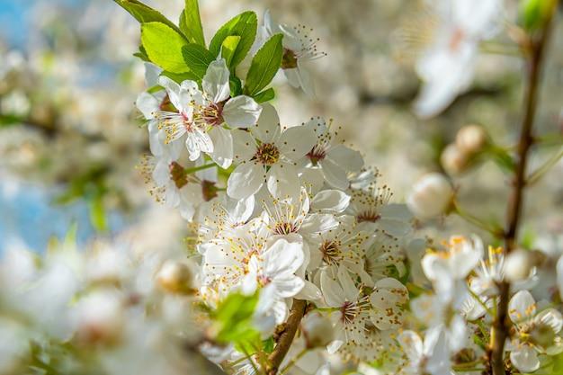 Cerisier en fleurs de printemps avec de belles fleurs blanches