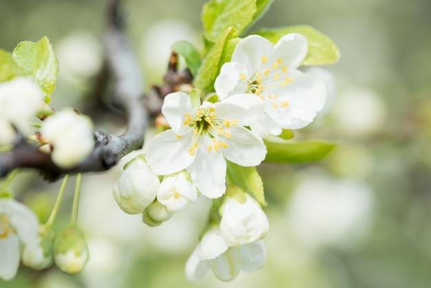 Cerisier en fleurs de printemps, gros plan de fleurs blanches
