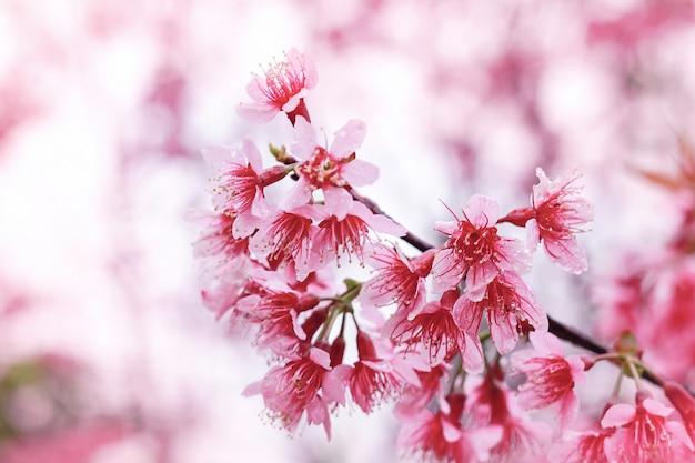 Cerisier de l'himalaya sauvage prunus cerasoides sakura en thaïlande
