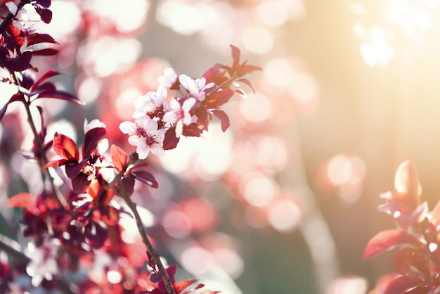 Cerisier japonais en fleurs. fleurs de sakura en fleurs.