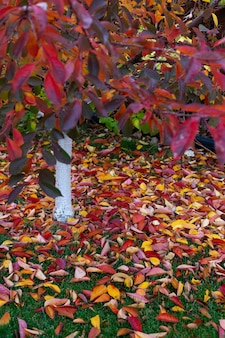 Le cerisier rouge-orange perd son feuillage en automne belles feuilles tombées sur la pelouse dans la cour en...