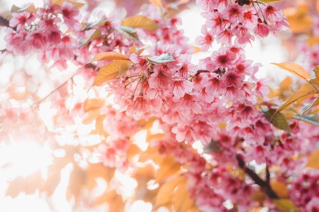 Cerisier sauvage de l'himalaya