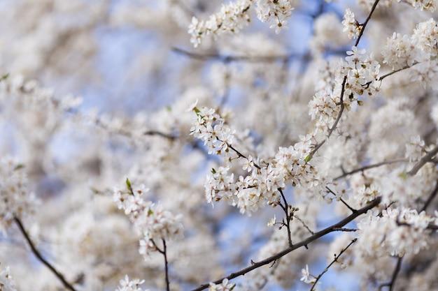 Les cerisiers fleurissent au printemps.
