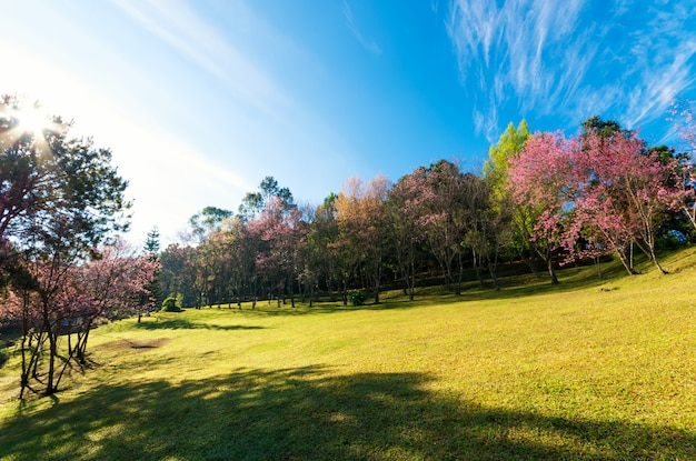 Cerisiers en fleurs au palais de doi pha tang, chiang mai, thaïlande.