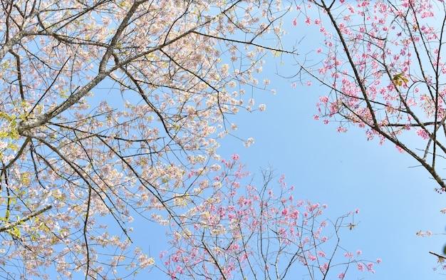 Cerisiers en fleurs au printemps