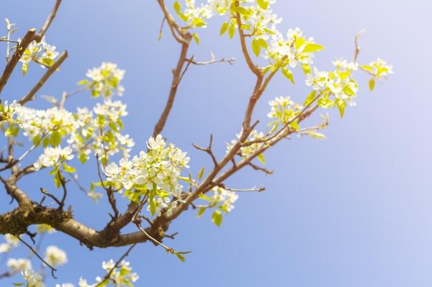 Cerisiers en fleurs sur fond de nature floue