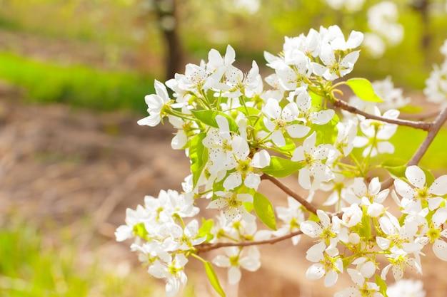 Cerisiers en fleurs sur la nature floue