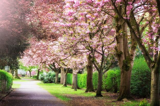 Cerisiers roses en fleurs dans un parc au printemps
