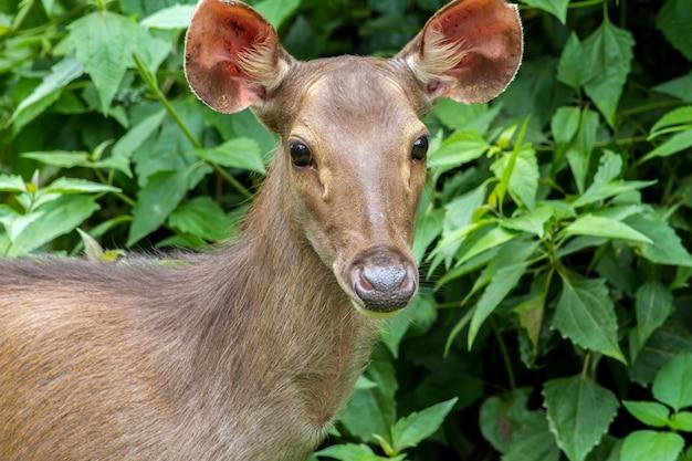 Cervidés dans les forêts tropicales