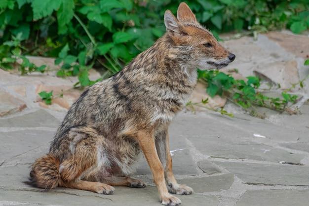 Chacal doré (canis aureus), assis sur une surface rocheuse