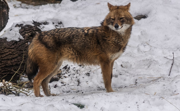 Chacal doré (canis aureus), debout sur la surface de la neige