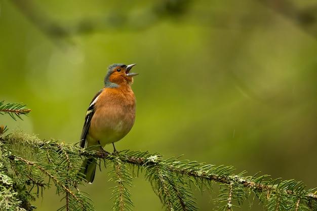 Chaffinch commun assis sur une branche de pin dans la forêt