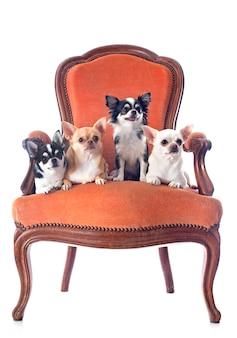 Chaise antique et chihuahuas