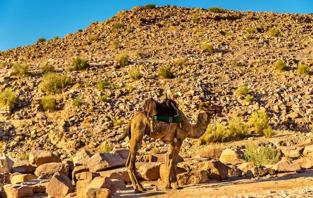 Chameau bédouin repose dans l'ancienne ville de petra, jordanie
