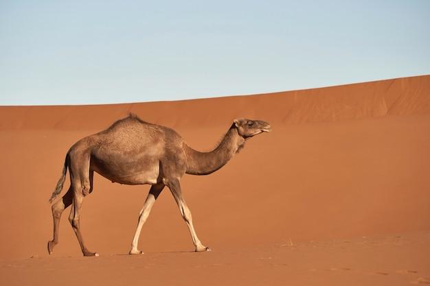 Chameau dans le désert d'abu dhabi.