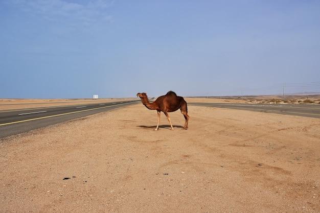 Le chameau dans le désert, l'arabie saoudite