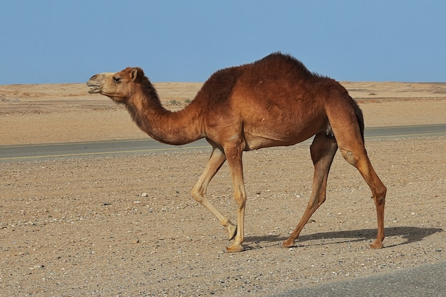 Le chameau dans le désert en arabie saoudite